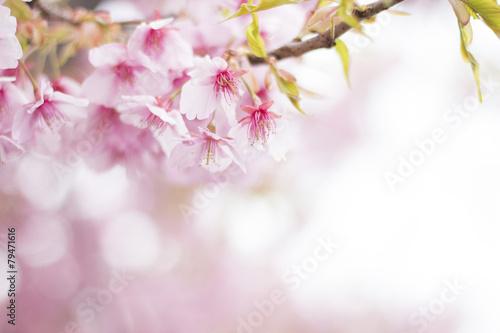 Papiers peints Cerises 桜 満開