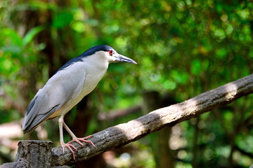 Black Crowned Night Heron standing on the wood railing