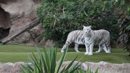 Two White Tigers In A Play