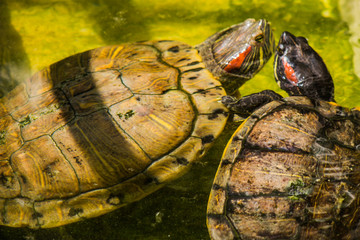 turtle in Bangkok