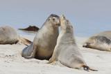 Beautiful Seal in a oceanic bay. Australia