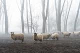 sheep in the fog