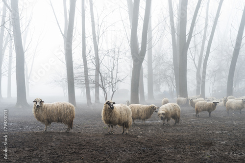 Foto op Plexiglas Schapen sheep in the fog