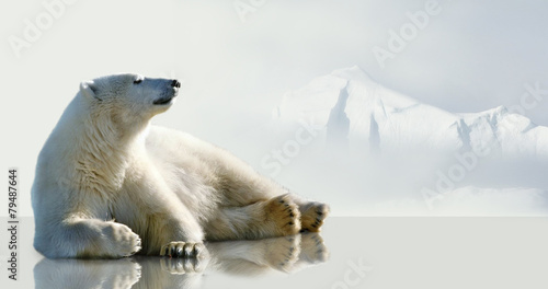 Polar bear lying on the ice in the environment of the iceberg. - 79487644