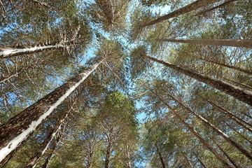 High Pines Trees Etna National Park, Sicily