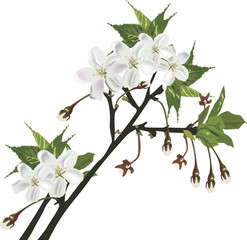 isolated white spring tree blossoming branch