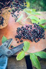 ripe elder berries bunch on wooden table and pruner