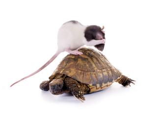 Ratte mit Schildkröte
