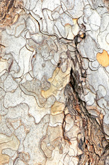 close-up of the bark of old tree trunk