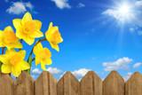 Narzissen über dem Zaun vor blauem Himmel
