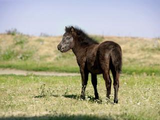 European Miniature horse portrait in summer meadow