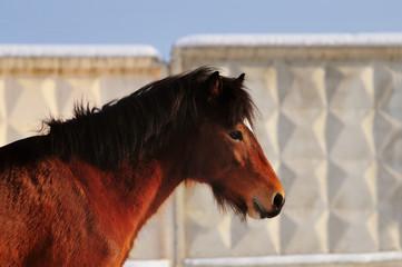Head shot of a bay ride deutsch pony portrait with winter fur an