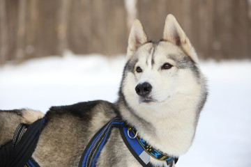 dog team leader listens host