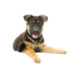 Shepherd Dog puppy on a white background isolated