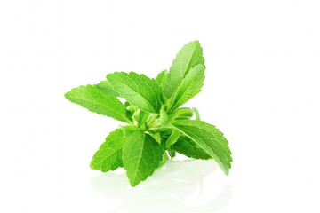 fresh stevia herbs closeup in pure white background
