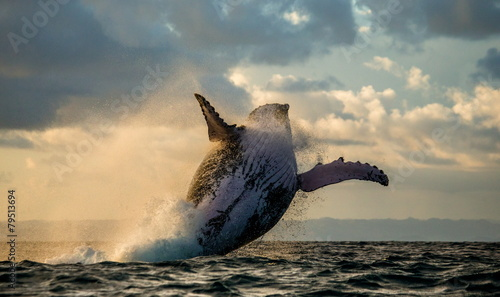 Fotobehang Overige Humpback whale jump at sunset. Madagascar.