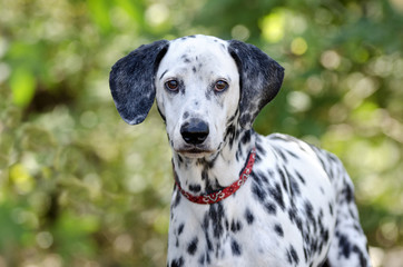 Dalmatian dog head closeup looking