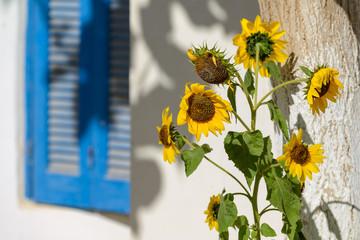 sunflowers on the street