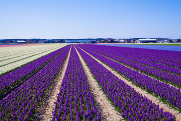 hyacinths in a dutch bulb field