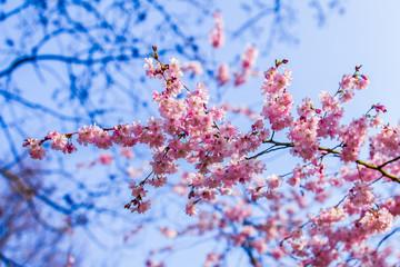 Pink sakura flowers,Sakura flowers blooming.