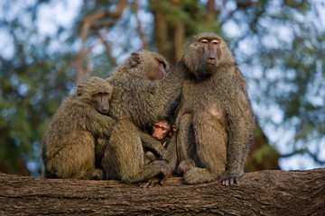 Family of baboons on the tree. Kenya.