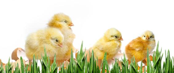two newborn chickens