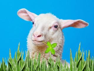 a happy lamb  - portrait on a blue background