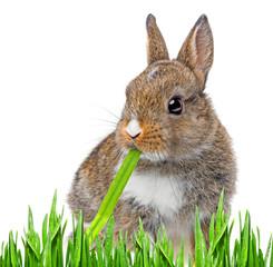 little baby rabbit eating a grass