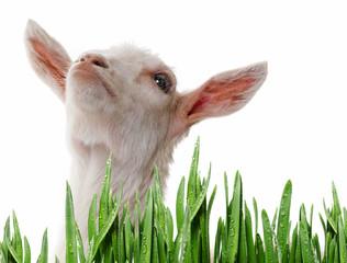 funny white goat - portrait