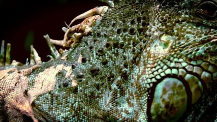 In slow motion big iguana