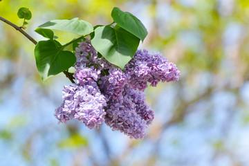lilac violet flowers, floral background