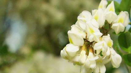 Blossom of Acacia Tree