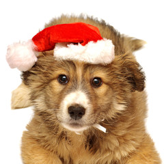 Young puppy with a cap of Santa Claus