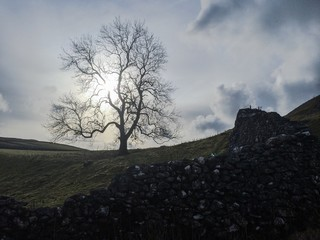 dry stone wall and tree in yorkshire