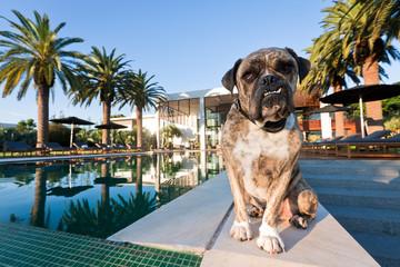 Watchdog - Bulldog Brindle