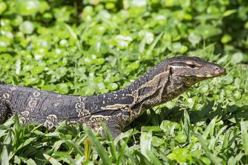 Monitor lizard ( Varanus salvator )  Lumpini park, Thailand