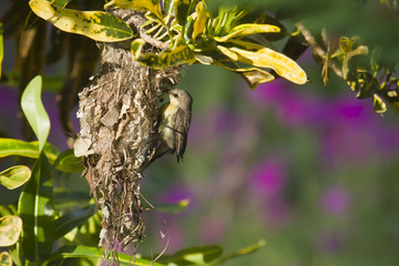 Purple sunbird nesting in Bardia, Nepal