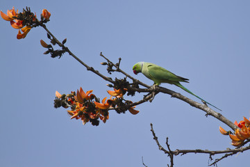 Rose-ringed parakeet in flowering plant, Bardia, Nepal