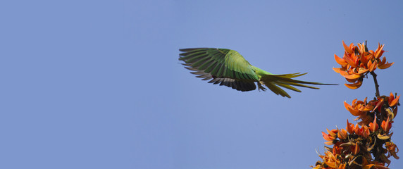 Rose-ringed parakeet in flight in Bardia, Nepal