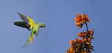 Rose-ringed parakeet in flight in Bardia, Nepal