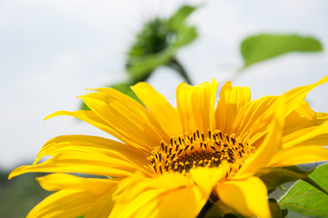 Beautiful yellow sunflower.