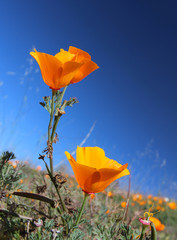 California golden poppy flower field