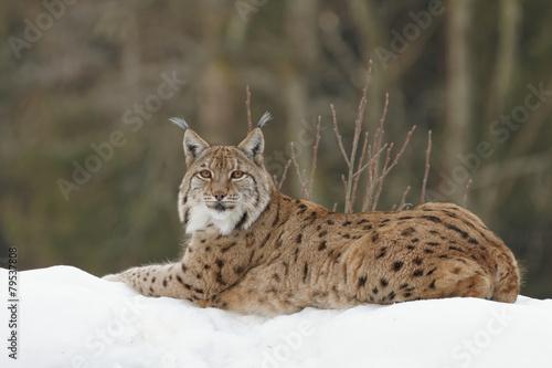 Fotobehang Lynx Luchs (lynx lynx)