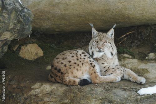 Deurstickers Lynx Luchs (lynx lynx)