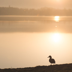 Duck standing by the lake in sunset.