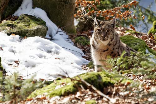 Papiers peints Lynx Luchs (lynx lynx)