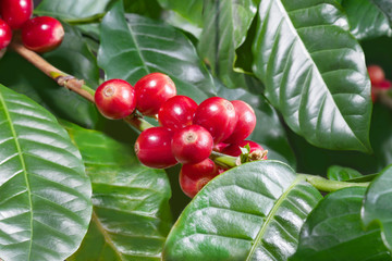 Coffee tree branch filled with red cherries