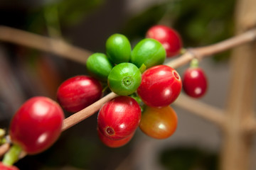 Coffee tree filled with red and green cherries
