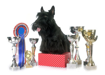scottish terrier and trophy