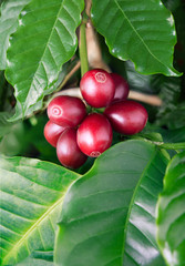 Coffee tree filled with red cherries.